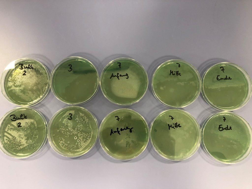Pseudomonas aeruginosa auf PlateCountAgar (PCA)